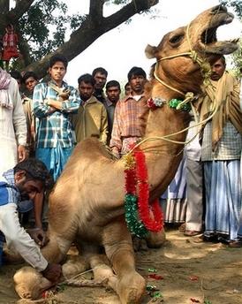 camel_cries_in_pain.jpg