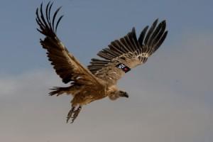vulture_spy-300x200