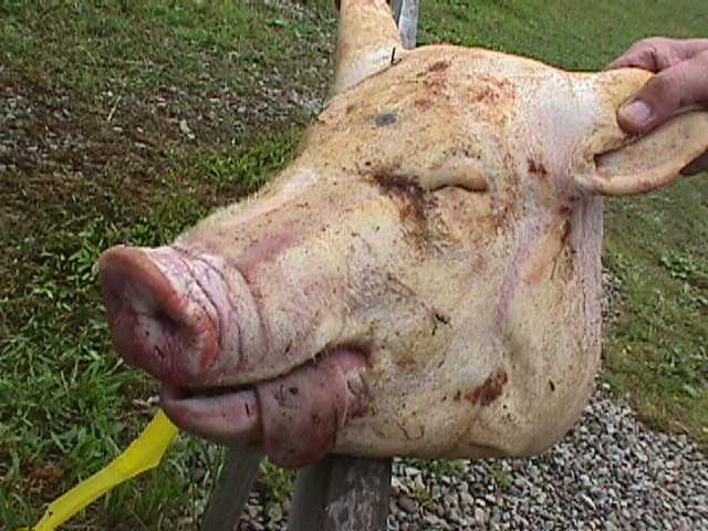pig-head